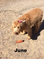 Goldendoodle, Loch Haven Dog Park, Hoover AL, dogdevotionals.com, Christian Devotionals