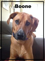 Rhodesian Ridgeback mix, dog devotionals.com