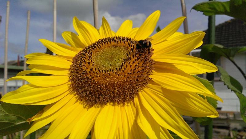 03 SUNFLOWER – Why sunflowers?