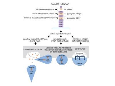 How different Endo180 antibodies work.