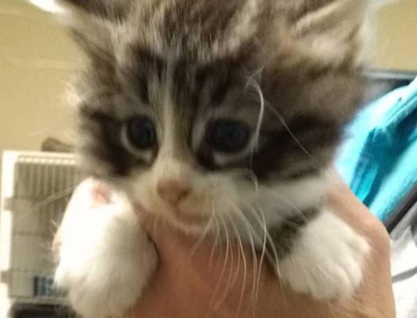 Caraway's 5 week old Kitten 2
