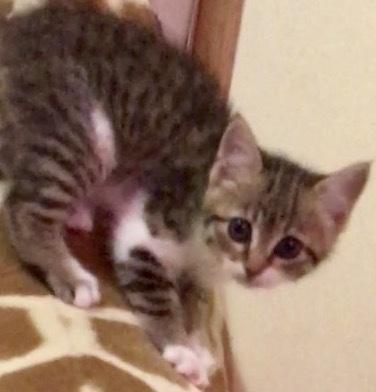 Snickers, 8 week old Female