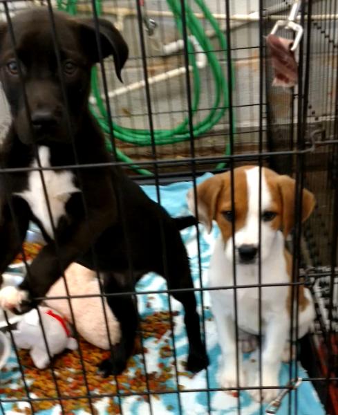 Nutmeg's 6 week old puppies, Sage and Clove (both Females)