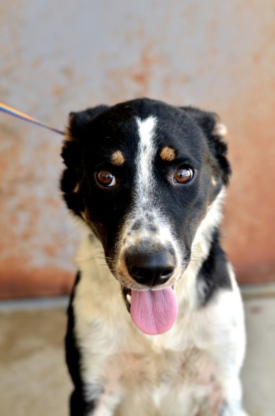 Allie, 8 month old Female, Border Collie mix