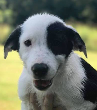 Star, 10 week old Male, Collie mix