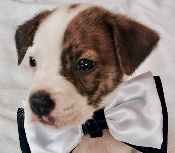 Spencer, 2 month old Male, Boxer mix