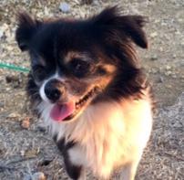 NeeNee, 5 year old Female, Chihuahua