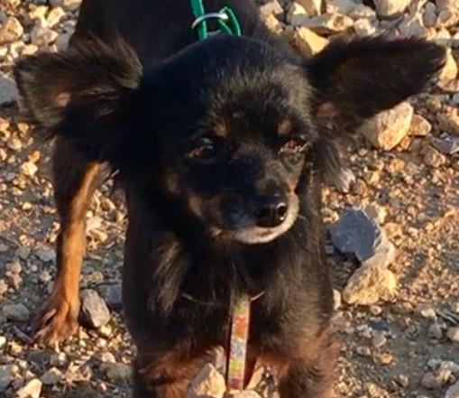 Ruffles, 5 year old Female, Long hair Chihuahua