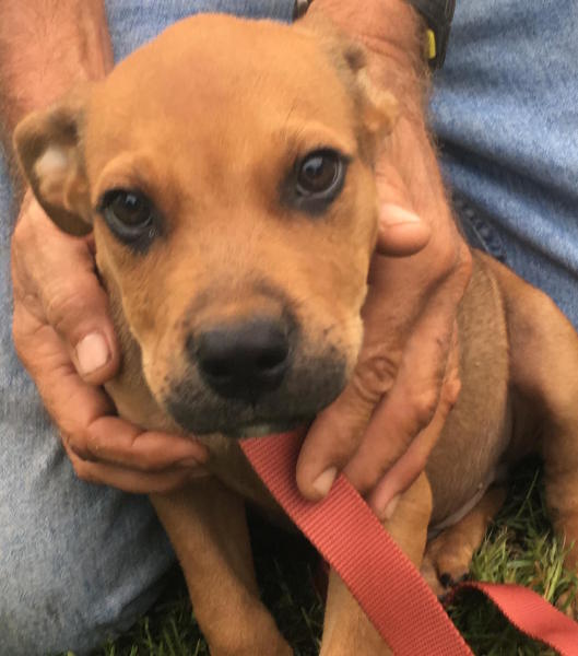 Scrappy, 3 month old Male, Boxer mix
