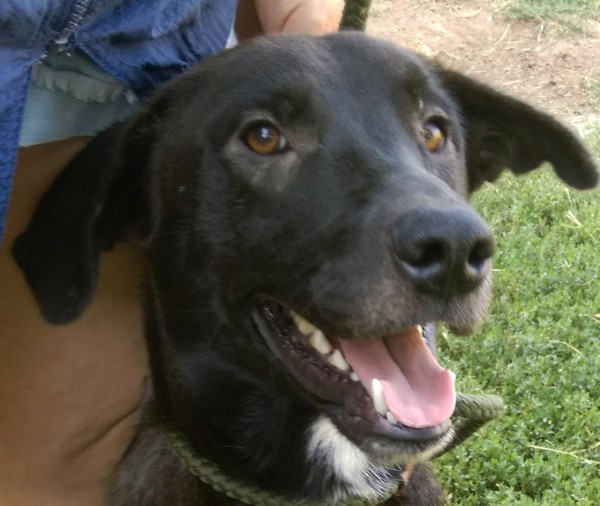 Snoopy, 1 1/2 year old Male, Lab mix