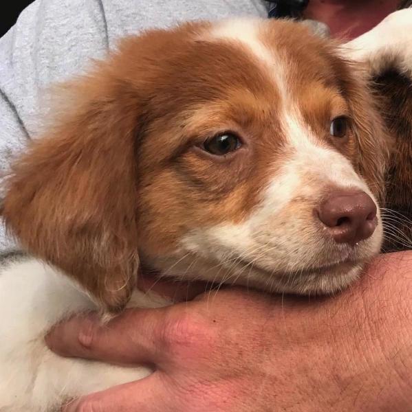 Border Collie mix puppy, 8 week old Female