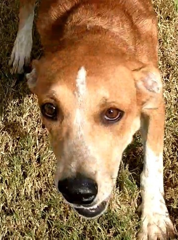 Honey, 1 year old Female, Hound mix