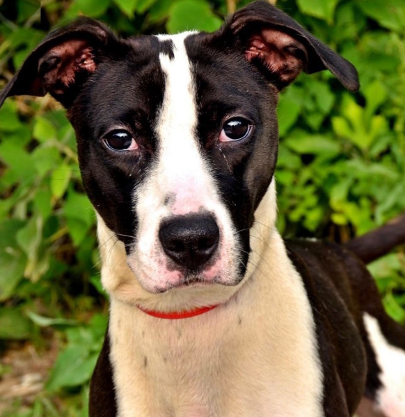 Sarah, 2 year old Female, Whippet/pit mix