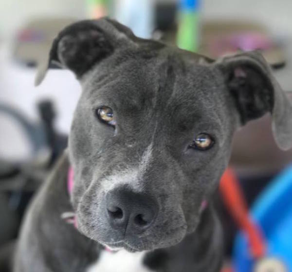 Glory, 3 year old Female, Pocket pit