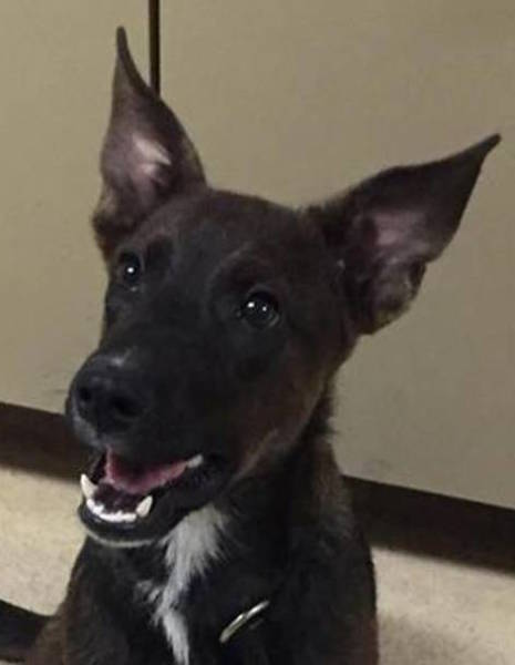 John Silver, 6 month old Male, Shepherd mix