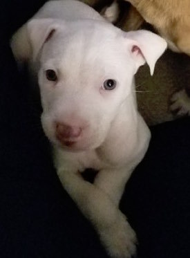 Leo, 6 week old Male, Pit mix