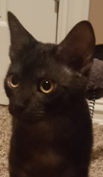 Thomas, 4-5 month old Male, Domestic Short Hair