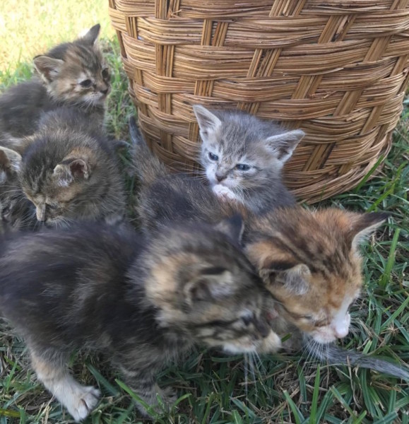 6 Kittens, 6 weeks (undermined sexes)