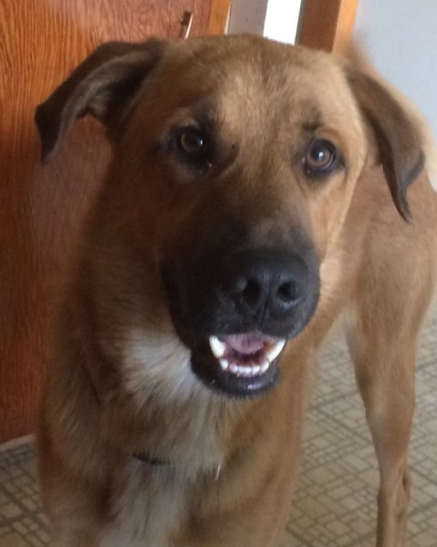 Big Boy, 1 1/2 year old Male, Anatolian/lab mix