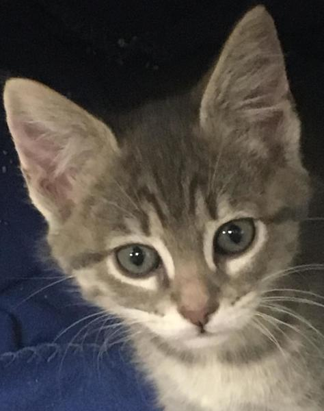 Bono, 8 Week old, Male, Domestic Short Hair