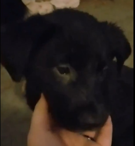 Muffin, 8 Weeks old, Female, Border Collie mix