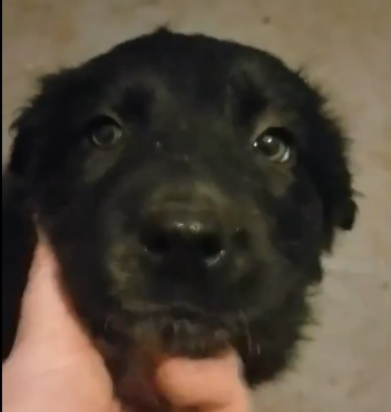 Princess, 8 Weeks old, Female, Border Collie mix