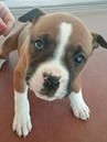 Caprice, 8 Week old Female, Boxer mix
