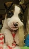Tansy, 8 Week old Female, Boxer mix