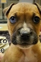 Hydro, 8 Week old Male, Boxer mix