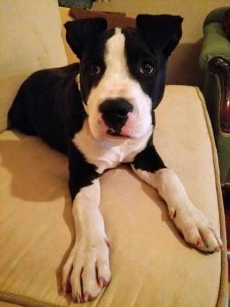 Judge, 7 Month old Male, Bulldog/Mastiff mix