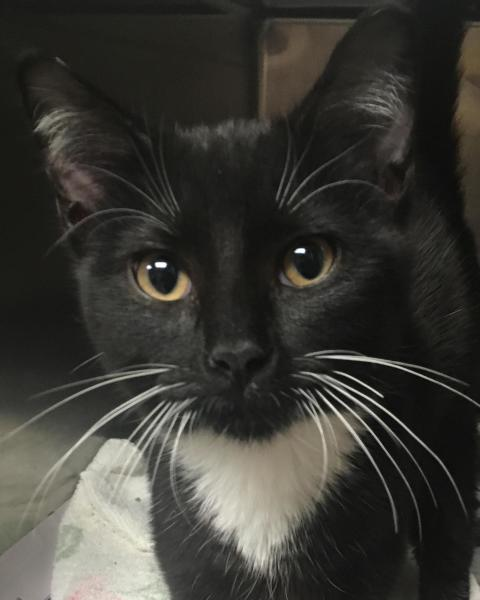 Tux, 6 Month old Male, Domestic Short Hair