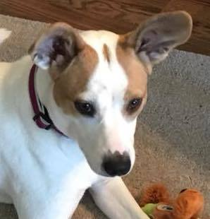 Holly, 2 Year old Female, Jack Russell mix ( Holly is DEAF)