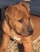 Romeo, 16 Weeks old Male, Bull Mastiff