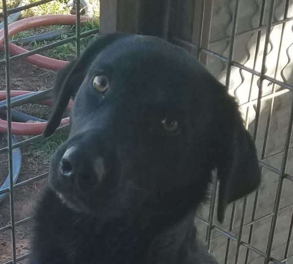 Pepper,  1 1/2 year old Male, Lab mix