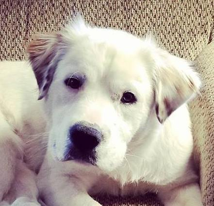 Cookie, 2 Year old Male, Great Pyrenese