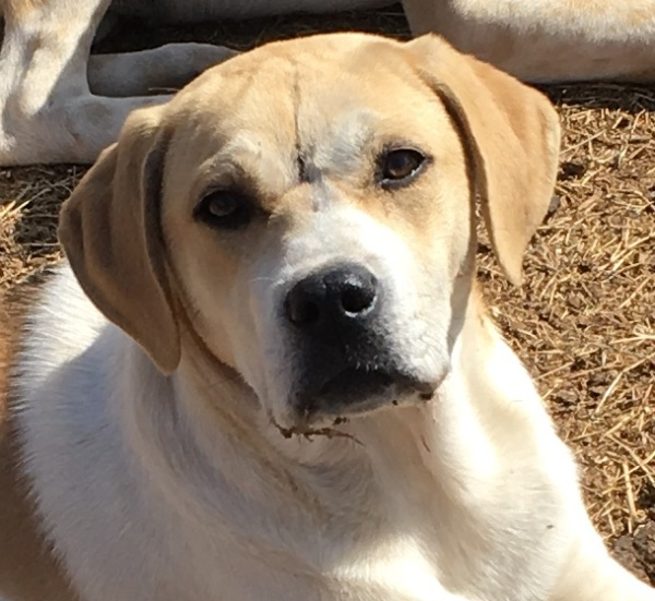 Plum, 6 month old Female, Anatolian Shepherd