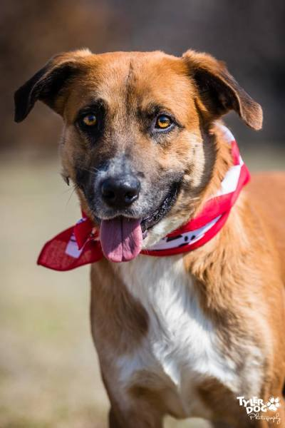 Quinn, 4 year old Male, Shepherd mix