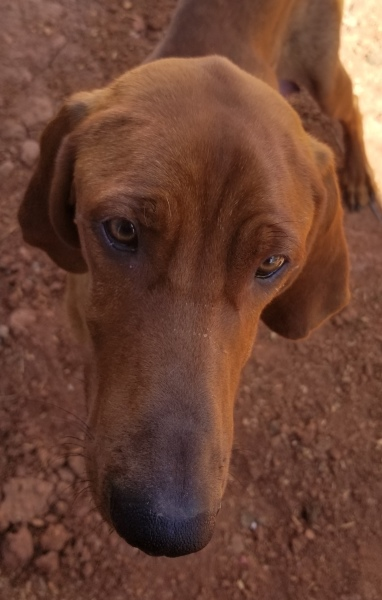Ruby Rose, 1 1/2 year old Female, Red Bone Hound