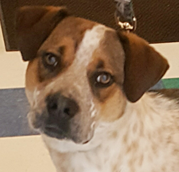 Ruger, 1 year old Male, Catahoula/Cattle Dog,