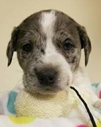 Alexa, 6 week old Female, Australian Cattle Dog mix