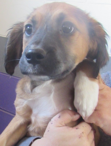 Aster, 10 week old Female, Collie/Terrier mix