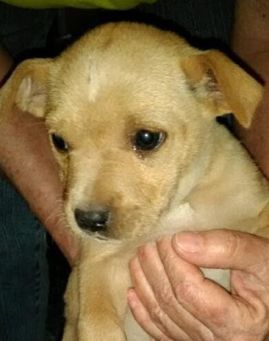 9 weeks old (1 male 3 females), Lab/wire haired terrier mix