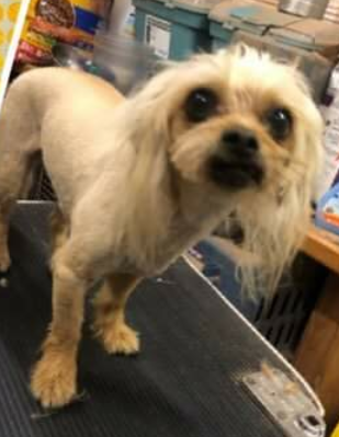 Charley, 5 year old Male, Chinese Crested/Yorkie mix