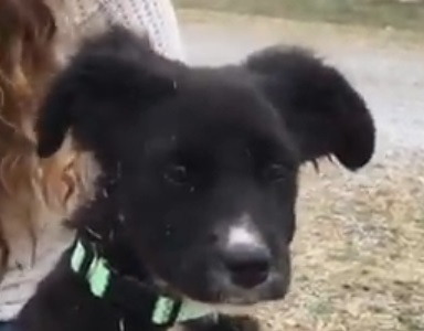 Cooper, 3 1/2 month old Male, Border Collie mix