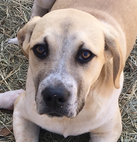 Creek, 6 month old Female, Anatolian Shepherd