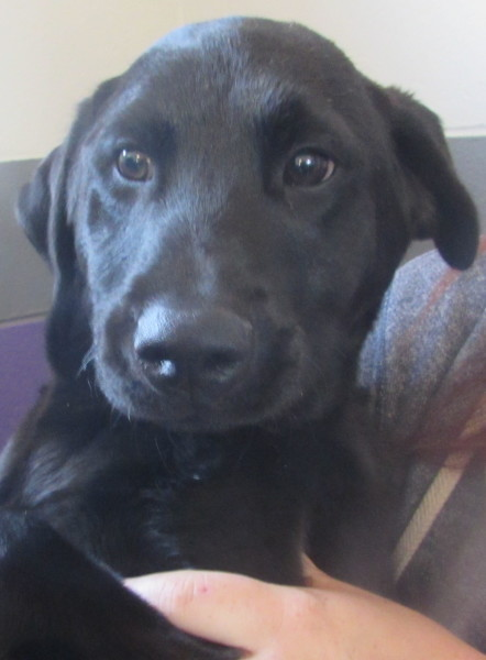 Duck, 4 month old Male, Lab