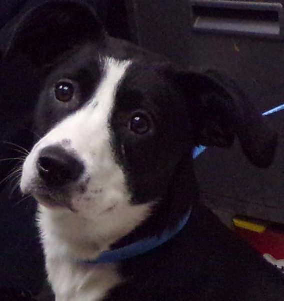 Shelby, 1 year old Female, Border Collie (smooth coat)