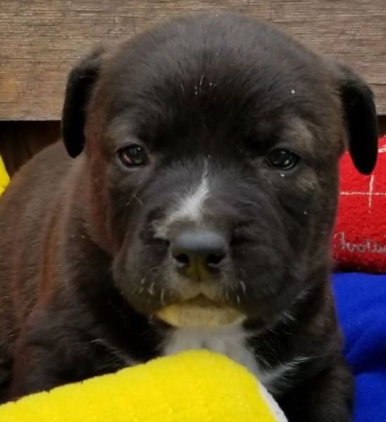 Enzo, (Leilah's baby) 6 week old Male, Catahoula/Chow mix