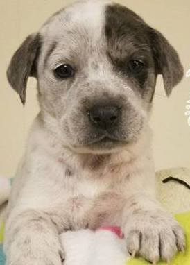 Tanya, 6 week old Female, Australian Cattle Dog mix