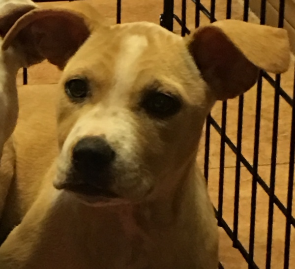 Chloe, 5 Month old, Terrier mix, Female